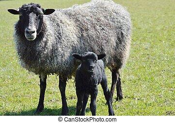 A Gotland Ewe and Lamb