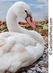 a graceful swan on the shore of a lake