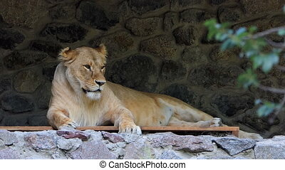 a Gracious Female Lion Lies on a Wooden Lounge