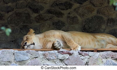 a Gracious Female Lion Sleeping in a Stone Niche in Summer