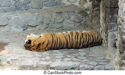 a Gracious Sleeping Striped Tiger