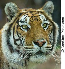 a, grande, tigre bengala, retrato