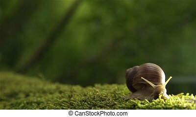 A grape snail on a green moss in the forest slowly turns its...