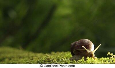 A grape snail on a green moss slowly turns its head - Garden...