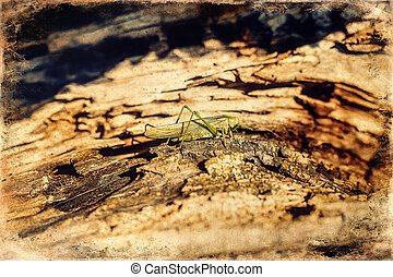 A grasshopper is sitting on a tree. Green grasshopper, old ...