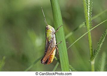 A grasshopper on the grass (Chorthippus paralellus)