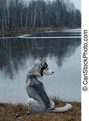 A gray husky breed dog sits on the shore of the lake and looks away.