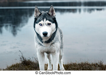 A gray husky breed dog stands on the shore of a lake on a cold autumn morning