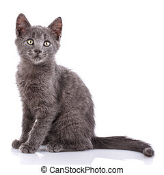 A gray kitten sits sideways. Isolated on a white background