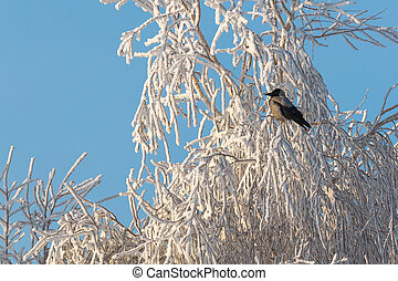 A gray magpie, a bird sitting on the snow-covered branches of a tree. Winter landscape, background.