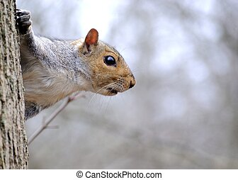 A Gray Squirrel perched on a tree trunk.