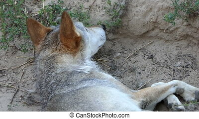 a Gray Wolf Lying And Looking Around i