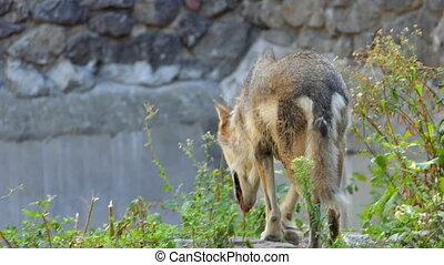a Gray Wolf Walking Around Some Big Stone