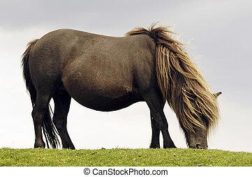 A grazing free-living Dartmoor pony