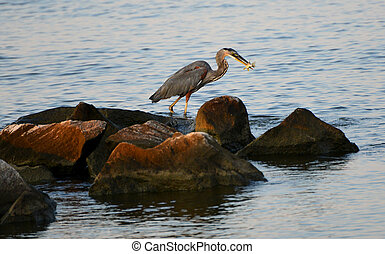 A Great Blue Heron Day