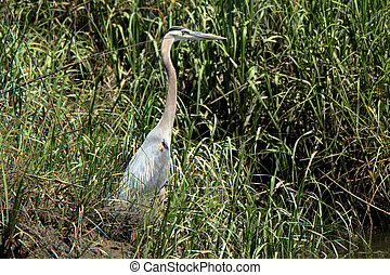 A great Blue heron hunting