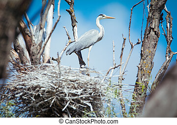 A Great Blue Heron Standing in it's Nest