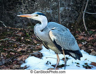 A great blue heron standing on the snow in a forest
