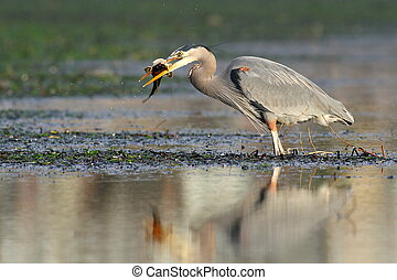 A Great Blue Heron with Fish