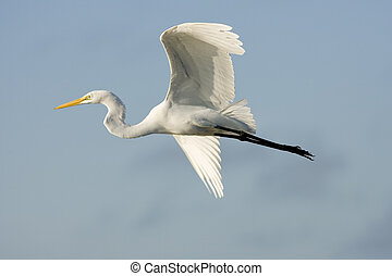 A Great Egret in flight to the next pond