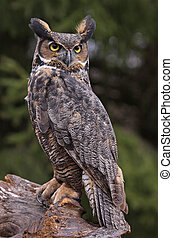 Great Horned Owl (Bubo virginianus) - A Great Horned Owl (...