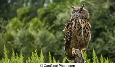 A great horned owl on a branch, portrait of an American eagle owl, cute owls, American owl in the forest