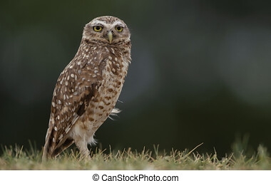 A Great Horned Owl on the ground, portrait of an American eagle owl, cute owls on the grass