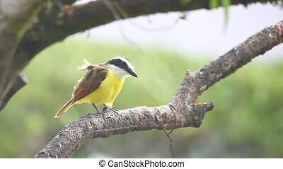 Great Kiskadee in the rain in Panam