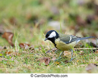 A great tit looking for food in the grass