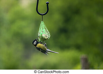 A great tit , Parus major, feeding on suet fatball in garden. Feeding wild birds in winter.