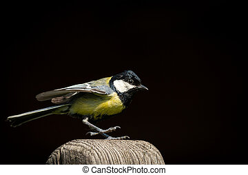 A great tit sitting on a wooden pole