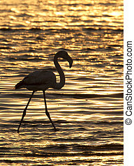 A Greater Flamingo (Phoenicopterus ruber) in Welvis Bay on the coast of Namibia
