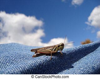A green and brown Red-legged Locust (grasshopper) on denim...
