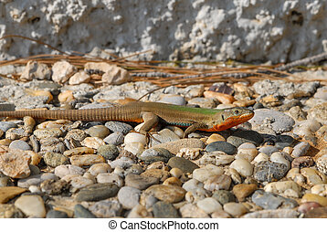A green and red colored lizard in Croatia (Cres)