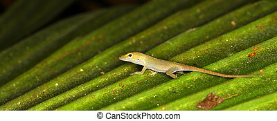 Green Anole (Anolis carolinensis) - A Green Anole (Anolis...