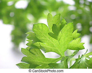 parsley - A green background of parsley