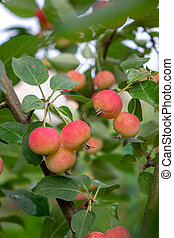 A green branch with small red apples in a rural garden. Eco-Friendly Fruit