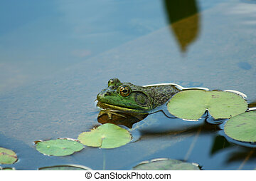Green bullfrog in a pond