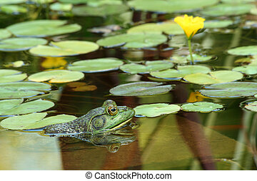 A Green bullfrog in a pond with lillypads