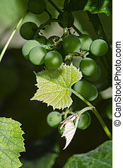 A green bunch of organic grapes among the green leaves in the garden