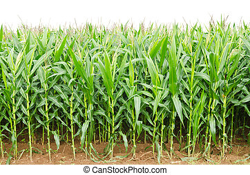 A green field of corn