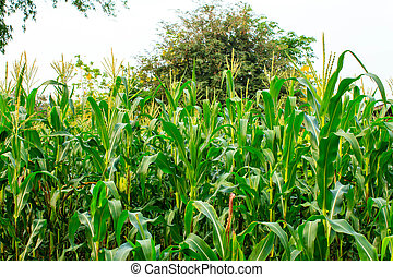 A green field of corn
