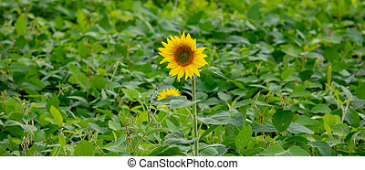 A green field with one blooming sunflower. Agriculture