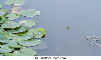 a green frog blinks an eye in a pond lake