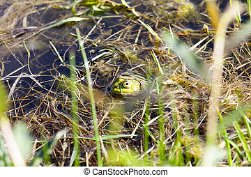 green frog floating in the water