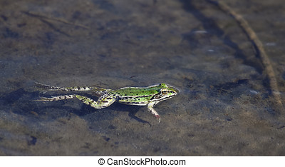 A Green frog in shallow waters