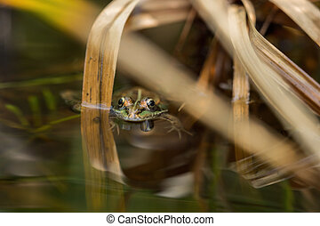 A green frog in the pond