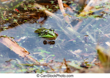 A green frog in the water between the water plants