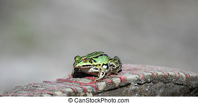 A Green frog on a sole sneakers