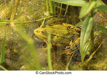 A green frog sits in the water among the grass. Common view of the common frog.